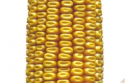 Dominator FAO 390, hibrid kukuruza, kukuruz, prodaja, cijena, Hrvatska