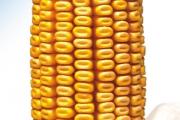 Favor FAO 430, hibrid kukuruza, kukuruz, prodaja, cijena, Hrvatska