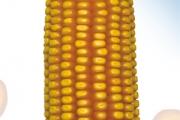 Granor FAO 450, hibrid kukuruza, kukuruz, prodaja, cijena, Hrvatska
