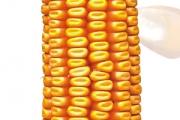 Piktor FAO 450, hibrid kukuruza, kukuruz, prodaja, cijena, Hrvatska