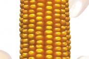 Zlatko FAO 440, hibrid kukuruza, kukuruz, prodaja, cijena, Hrvatska
