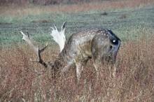 Jelen lopatar, uzgoj jelena lopatara, uzgoj divljači